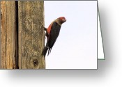 Woodpecker Photos Greeting Cards - Woodpecker On A Telephone Pole Greeting Card by John  Greaves