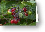 Bittersweet Photo Greeting Cards - Woody Nightshade (solanum Dulcamara) Greeting Card by Adrian Bicker