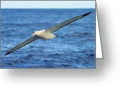 Austral Greeting Cards - Worlds Longest Wingspan Greeting Card by Tony Beck