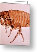 Oriental Rat Flea Greeting Cards - Xenopsylla Cheopis Greeting Card by Science Source