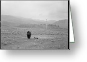 Wild Grass Greeting Cards - Yak In Grassland Greeting Card by Oliver Rockwell