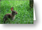 Captive Animals Greeting Cards - Yard Bunny Greeting Card by Randy Bodkins