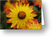Orange Daisy Photo Greeting Cards - Yellow and Orange Daisy Greeting Card by Frank Piercy