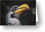 Hornbill Greeting Cards - Yellow-Billed Hornbill Greeting Card by Nikki Taylor
