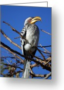 Hornbill Greeting Cards - Yellow Billed Hornbill Greeting Card by Riana Van Staden