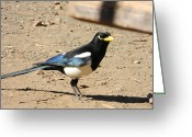 Yellow-billed Magpie Greeting Cards - Yellow Billed Magpie Greeting Card by Carol Beza