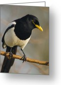 Yellow-billed Magpie Greeting Cards - Yellow-billed Magpie Greeting Card by Doug Herr