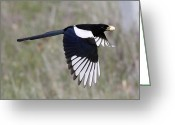 Yellow-billed Magpie Greeting Cards - Yellow-billed Magpie Greeting Card by Jack Sutton