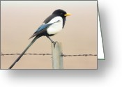 Yellow-billed Magpie Greeting Cards - Yellow-billed Magpie Greeting Card by Wingsdomain Art and Photography