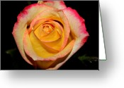 Cream Roses Greeting Cards - Yellow Center Greeting Card by Cathie Tyler