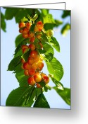 Cherries Greeting Cards - Yellow Cherries Greeting Card by Svetlana Sewell