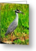 Fiddler Crab Greeting Cards - Yellow Crested Night Heron Catches a Fiddler Crab Greeting Card by Barbara Bowen
