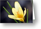 Yellow Crocus Greeting Cards - Yellow Crocus Greeting Card by Larry Ricker