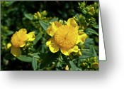 Homesickness Greeting Cards - Yellow Crown Flower Greeting Card by Douglas Barnett