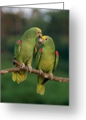 Amazon Parrot Greeting Cards - Yellow-crowned Parrot Amazona Greeting Card by Thomas Marent