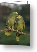 Amazon Parrot Greeting Cards - Yellow-crowned Parrot Kiss Greeting Card by Thomas Marent
