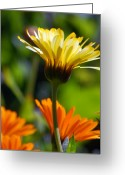 Flowers. Floral Greeting Cards - Yellow Daisy Greeting Card by Amy Fose