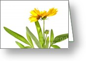 Blossom Digital Art Greeting Cards - Yellow daisy isolated against white Greeting Card by Sandra Cunningham