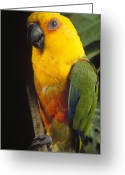 Amazon Parrot Greeting Cards - Yellow-faced Parrot Amazona Xanthops Greeting Card by Claus Meyer