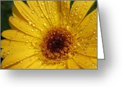 Giclee Photo Greeting Cards - Yellow Gerbera Greeting Card by Suzanne Gaff