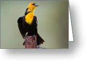Bison Range Greeting Cards - Yellow-headed Blackbird Greeting Card by Merle Ann Loman