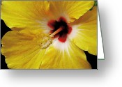 Molokai Greeting Cards - Yellow Hibiscus With Red Center Greeting Card by James Temple
