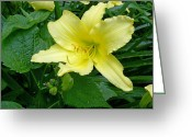 Romance Greeting Cards - Yellow Lily Greeting Card by Aimee L Maher