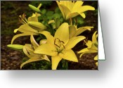 Homesickness Greeting Cards - Yellow Lily Cluster Greeting Card by Douglas Barnett