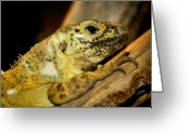 Colorful Photography Greeting Cards - Yellow Lizard Greeting Card by Karen M Scovill