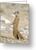 Standing Meerkat Photo Greeting Cards - Yellow Mongoose Greeting Card by Peter Chadwick