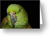 Amazon Parrot Greeting Cards - Yellow-Naped Amazon Parrot Greeting Card by Alexander Butler