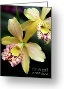 Flowers Miami Greeting Cards - Yellow Orchid Duo Greeting Card by Sabrina L Ryan