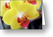 Orchids Photo Greeting Cards - Yellow Phalaenopsis Orchids Greeting Card by Rona Black