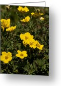 Shape Framed Prints Photo Greeting Cards - Yellow Potentilla or Cinquefoils  Greeting Card by Paul Cannon