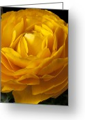 Ranunculus Photo Greeting Cards - Yellow Ranunculus Greeting Card by Garry Gay
