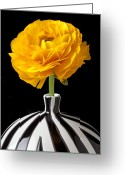 Ranunculus Photo Greeting Cards - Yellow Ranunculus In Striped Vase Greeting Card by Garry Gay