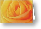 Cultivars Greeting Cards - Yellow rose 4788 Greeting Card by Michael Peychich