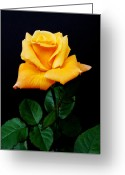 Rosaceae Greeting Cards - Yellow Rose Greeting Card by Michael Peychich