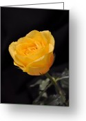 Rose Petals Greeting Cards - Yellow Rose On Black Background Greeting Card by Déco
