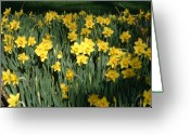 Sea Flowers Greeting Cards - Yellow Sea Daffodils at Brookgreen Gardens Greeting Card by Elena Tudor