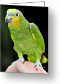 Staring Greeting Cards - Yellow-shouldered Amazon parrot Greeting Card by Elena Elisseeva