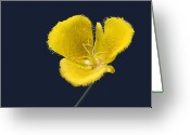 Pussy Greeting Cards - Yellow Star Tulip - Calochortus monophyllus Greeting Card by Christine Till