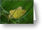 Robyn Stacey Photo Greeting Cards - Yellow Sulfur Butterflies Greeting Card by Robyn Stacey