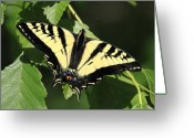 Swallow Tail Butterfly Greeting Cards - Yellow swallow tail butterfly Greeting Card by Pierre Leclerc