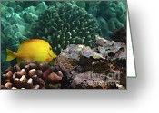Tropical Fish Greeting Cards - Yellow Tang on the Reef Greeting Card by Bette Phelan