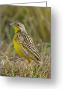 African Wildlife Greeting Cards - Yellow-throated Longclaw Greeting Card by Peter Chadwick