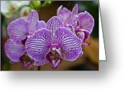 Homesickness Greeting Cards - Yellow Tongue Lacy Orchid Greeting Card by Douglas Barnett