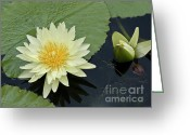 Aquatic Flower Greeting Cards - Yellow Water Lily with bud Nymphaea Greeting Card by Heiko Koehrer-Wagner