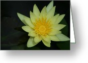 Water Gardens Greeting Cards - Yellow Waterlily - Nymphaea mexicana - Hawaii Greeting Card by Sharon Mau