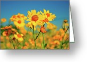 Taos Greeting Cards - Yellow Wildflowers Greeting Card by Sandy L. Kirkner